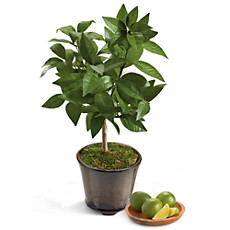 Key Lime Patio Tree